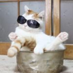 【すっぽりだニャ!】サングラスをかけて鍋におさまる猫!