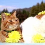 【似合うかニャ!】食用菊で飾った猫!