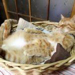 【寝るより楽はニャかりけり】ぴったりのかごの中で眠る猫!