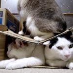 【ジャストサイズだニャ!】段ボール箱の中でギュッとなった猫!