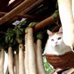 【大根より白いニャ!】干し大根と猫!