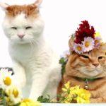 【キレイだニャ!】菊の花飾りをつけた猫!