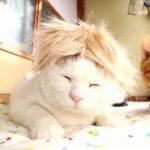 【トランプ大統領だニャ!】金髪のかつらをかぶった猫!