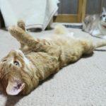 【家の中は楽だニャ!】部屋でゴロゴロする猫!