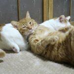 【猫枕だニャ!】ネコを枕にする猫!