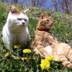 【今日は天気がいいニャ!】たんぽぽのそばでくつろぐ猫!