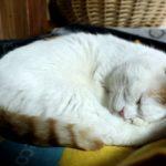 【夢の中だニャ!】丸くなって熟睡する猫!
